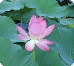 lotus nonattachment