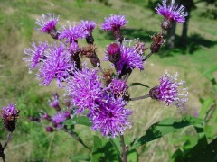 Tall Purple Ironweed